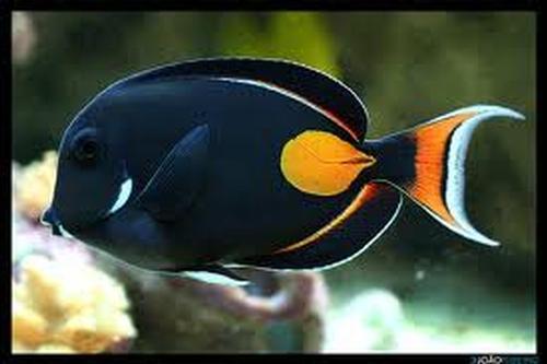 Super Peixes água salgada - Produtos » - BUEDEFISH HU93